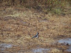 Oiseau non identifié, Udawalawe, Sri Lanka