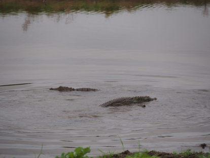 On reconnait mieux ici la forme des crocodiles...