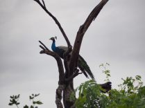 Paon perché sur une branche