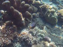 """Un """"pufferfish"""" (Tetraodontidae) ou alors un """"boxfish"""" (Ostraciidae)"""