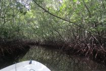 Mangrove, Nusa Lembongan