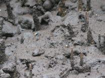 Minuscules crabes bleus dans les racines de la mangrove