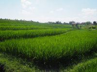Rizière près de Canggu