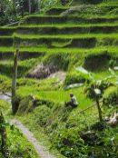 Rizières de Tegalalang, un paysan prends soin de sa parcelle