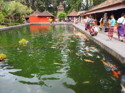 Bassin avec d'énormes carpes Koï - habituées à être nourries par les touristes, elles rappliquent dès qu'on s'approche du bord