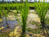 Des plants de riz dans une rizière