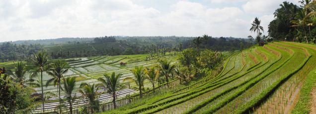 Panorama des rizières de Jatiluwih