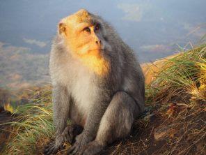 Méfiez vous de ce macaque crabier, qui semble si mignon... En un clin d'oeil, lui ou l'un de ses 10 semblables vous prendra votre gouter
