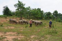 Des paysans avec leur troupeau
