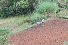 Paysans préparant la terre avec leur buffle