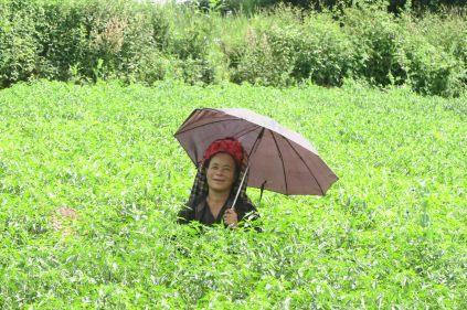 Une paysanne Pa-O dans son champs, à l'abris du soleil