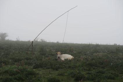 Une vache attachée à sa corde