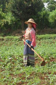 Des femmes (Pa-O) au travail : elles ont le visage recouvert de Tanaka, le turban traditionnel, et le chapeau en bambou par dessus !