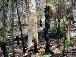 """Des """"grass trees"""" parmis la végétation du parc de Noosa"""