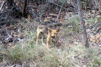 Un jeune dingo au bord de la route. Il semble maigre mais n'est pas malade, c'est leur stature naturelle