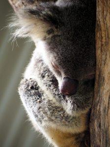 Un Koala endormi sur son arbre. Adorable non ?