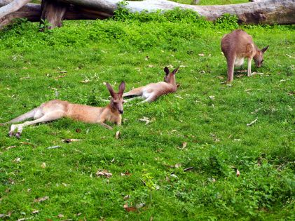 Tranquilles les Kangourous