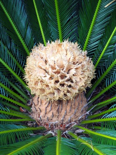 Le coeur d'un palmier dans le jardin botanique