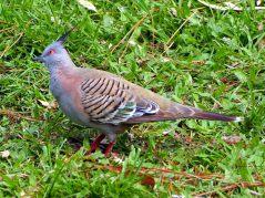 """Un """"Crested pigeon"""" (en français Colombine longup)"""