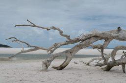 Un arbre mort déposé sur la plage de Whithaven
