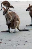 Cette femelle Kangourou porte son petit dans sa poche