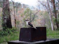 Un Kookaburra (Martin-chasseur géant ou Dacelo novaeguineae), oiseau mythique de la culture aborigène (et emblématique de l'Australie), au cri si particulier