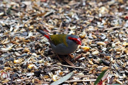 "Un Diamant à cinq couleurs (Neochmia temporalis) ou ""Red-browed finch"""
