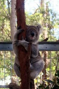 Un Koala blessé à l'hopital des Koalas. Celui-ci a perdu la vie, il ne pourra pas être relaché