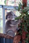 Un Koala en train de manger