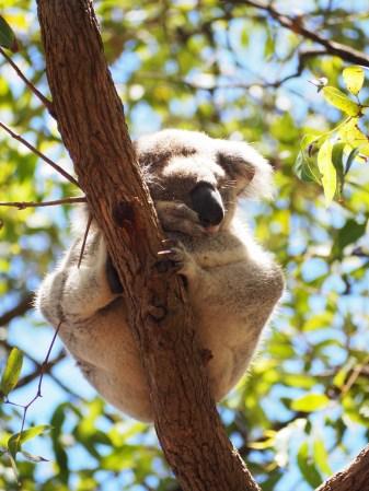 Un Koala perché sur son arbre
