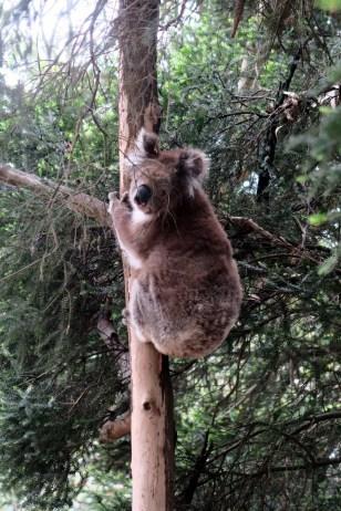 A Kennett River, un koala grimpe à l'arbre