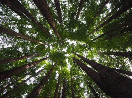 """La cime des arbres à la """"California Redwood plantation"""""""
