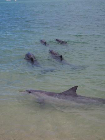 """Les dauphins évoluent en """"groupes"""" familiaux"""