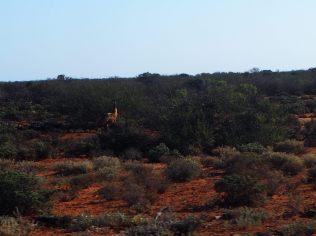 Un Emu sur la route entre Coral Bay et Carnavon