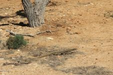 Un iguane au Cape Range National Park