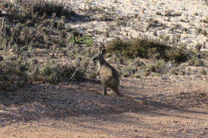 Bébé kangourou à coté de South Mandu, Cape Range National Park