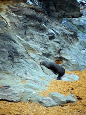Une otarie à fourrure sur la plage