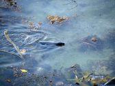 Une otarie dans l'eau, là ou elles sont le plus agile