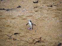 Pingouin aux yeux jaunes