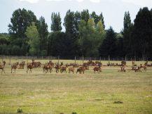 Des cerfs en élevage !