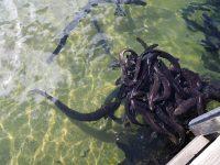 Les anguilles du lac de Rotoita au Nelson Lakes National Park...