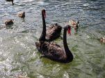 Cygnes noirs au lac de Rotoita (Nelson Lakes National Park)