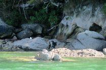 Otaries sur les rochers de l'ile Adèle