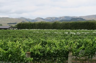 Vignoble du domaine Margrain à Martinborough