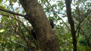 """Grosses bébêtes à Tairua (Coromandel), qui font des petits """"clics"""". Ca fait un sacré vacarme dans la forêt !"""