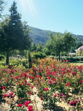 Parterre de roses à San Martin de Los Andes