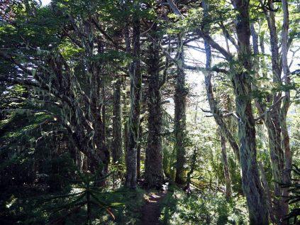 "La forêt ""filandreuse"" du Cerro San Sebastian"