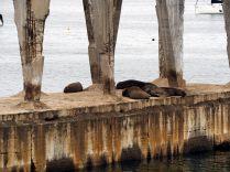 Des lions de mer au repos