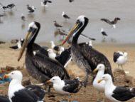 De nombreux volatiles viennent profiter des restes de poissons jetés à la criée de Valparaiso
