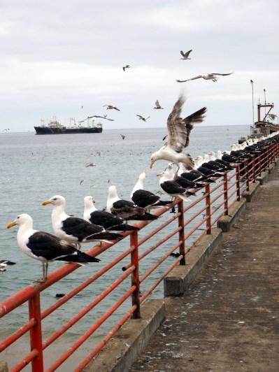 Une rangée de mouette à l'affut des déchets de pêche jetés à la mer par les pécheurs